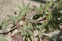 Acer palmatum \'Beni kagami\'