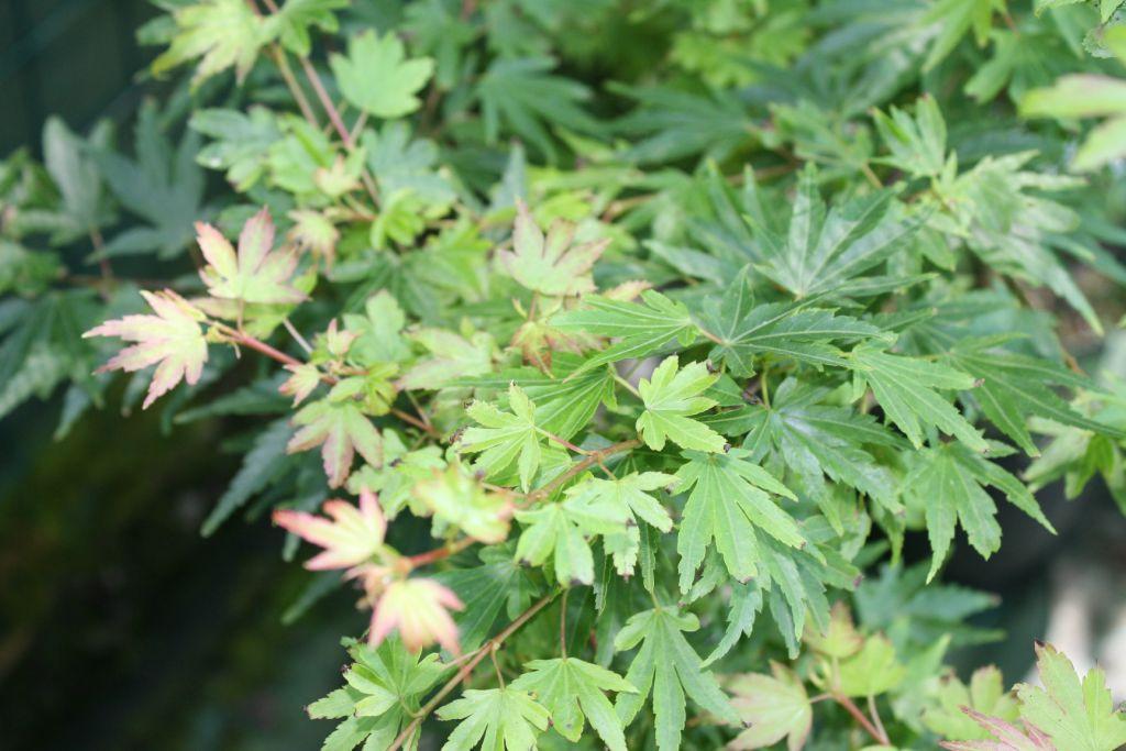 Acer palmatum \'Berry Broom\'