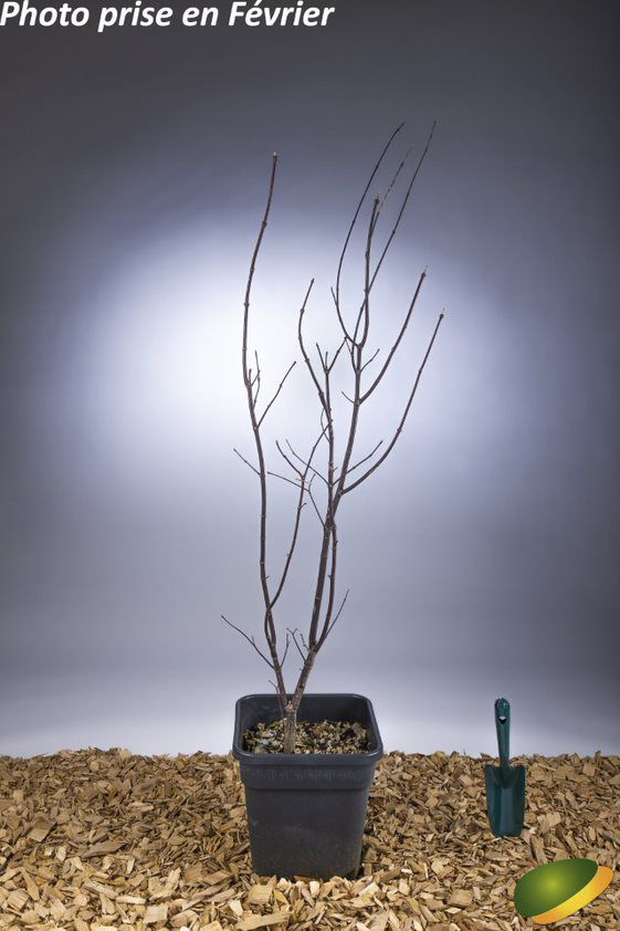 Acer palmatum \'Bloodgood\'