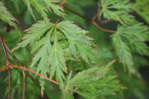 Acer palmatum \'Dissectum\'