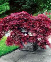 Acer palmatum \'Dissectum Crimson Queen\'