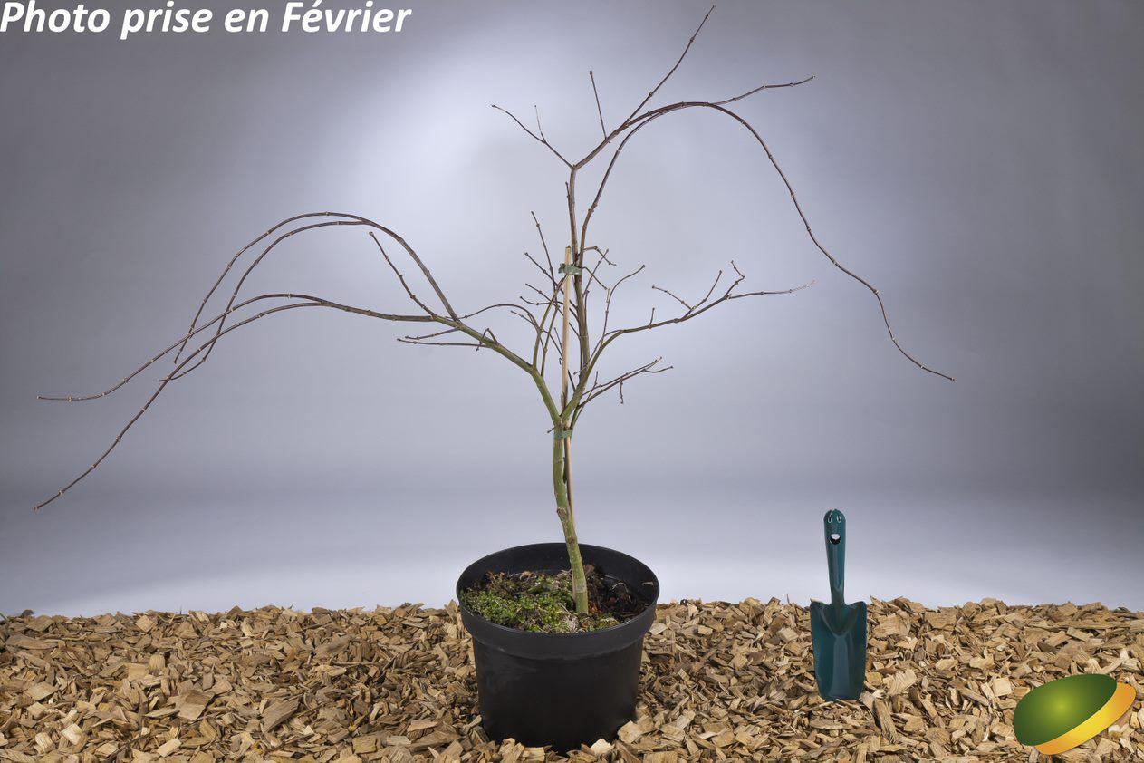 Acer palmatum \'Dissectum Inaba shidare\'