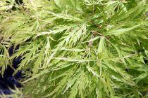 Acer palmatum \'Dissectum Viridis\'
