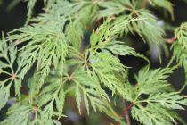 Acer palmatum \'Emerald Lace\'