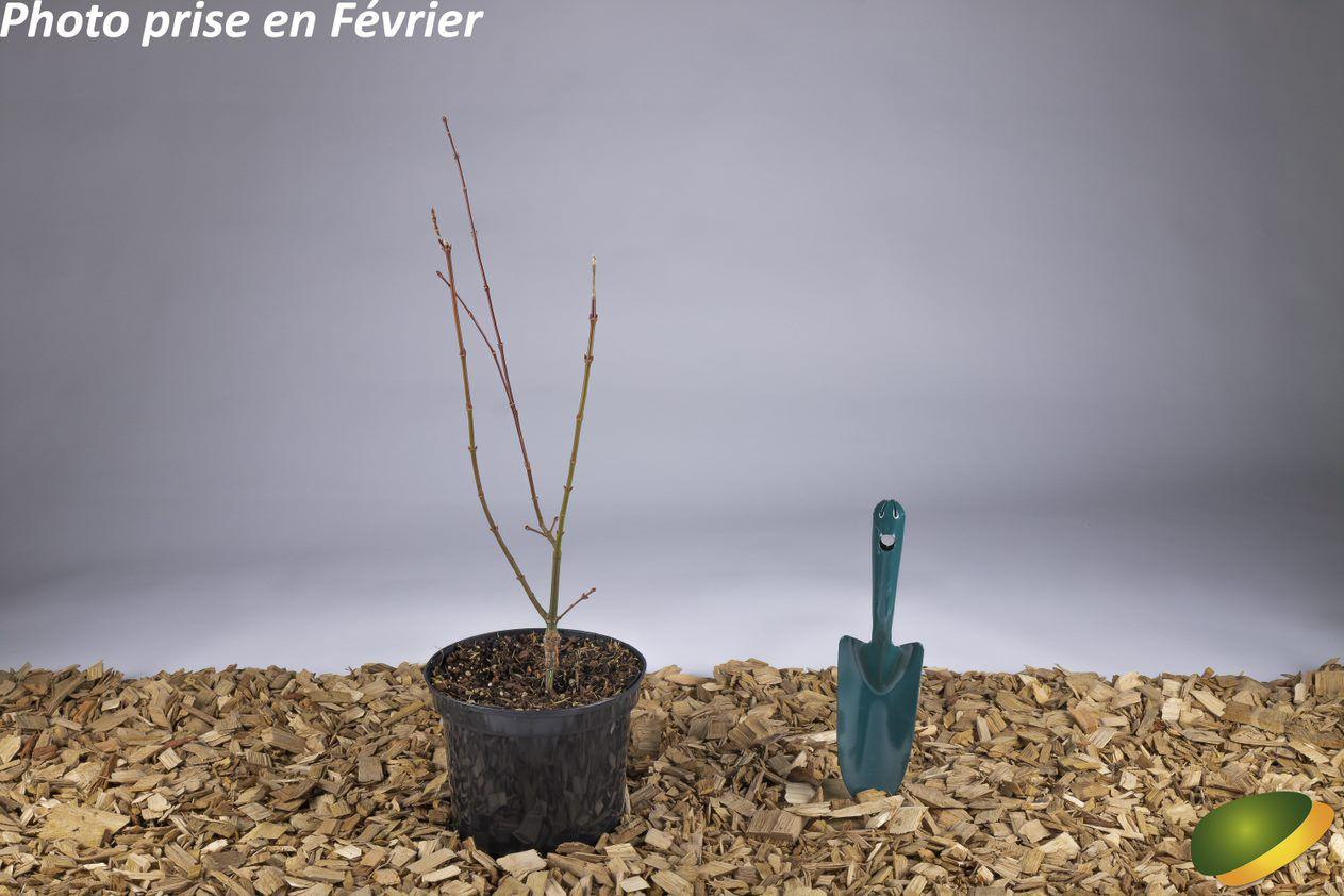 Acer palmatum \'Jerre Schwartz\'