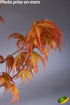 Acer palmatum \'Katsura\'