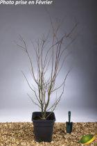 Acer palmatum \'Orange Dream\'