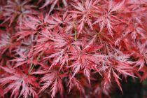 Acer palmatum \'Orangeola\'