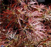 Acer palmatum \'Ornatum\'