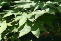 Acer palmatum \'Osakazuki\'