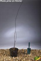 Acer palmatum \'Pixie\'
