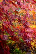 Acer palmatum \'Red Wine\'