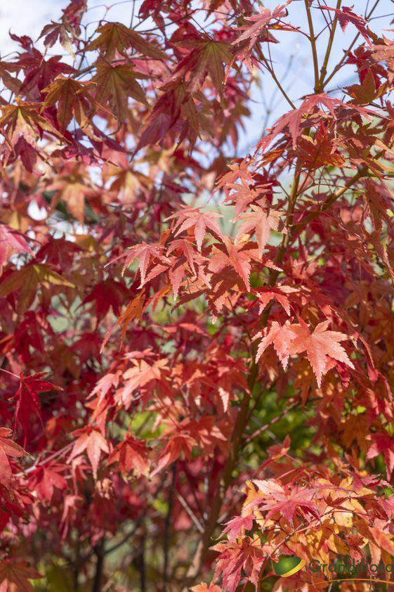 Acer palmatum \'Sangokaku\'