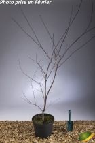 Acer palmatum \'Shin Deshojo\'