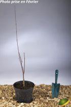 Acer palmatum \'Trompenburg\'