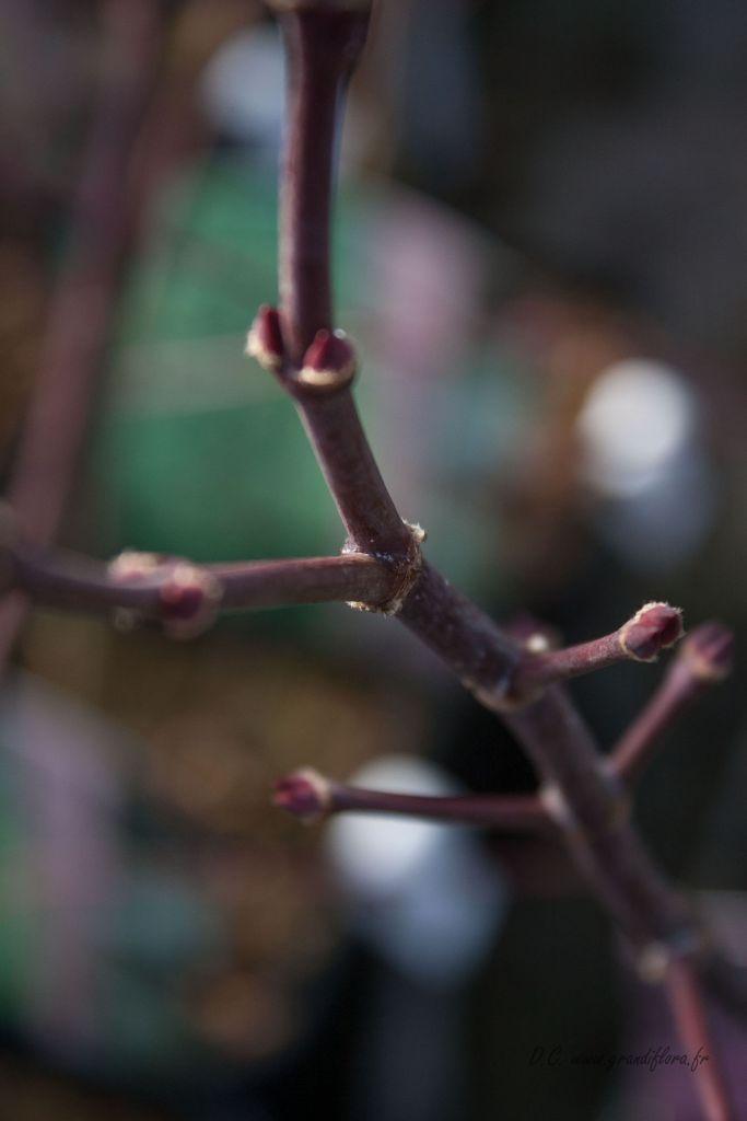 Acer palmatum dissectum  \'  Crimson  Queen \'