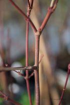 Acer palmatum dissectum \' Seryu \'