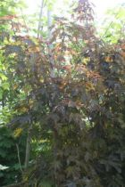 Acer platanoides \' Crimson Sentry \'