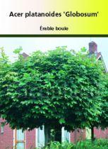 Acer platanoides \' Globosum \'