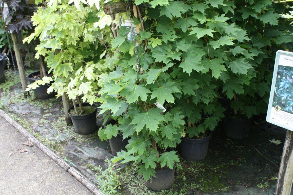Acer platanoides \'Columnare\'