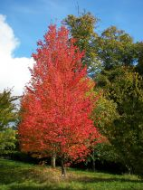 Acer rubrum 'Armstrong'