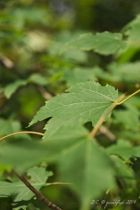 Acer rubrum, arbre à grand développement au feuillage vert devant rouge orangé à l\'automne.