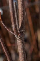 Acer saccharinum \' Pyramidalis \'