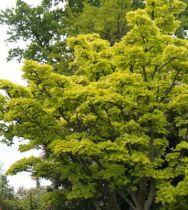 Acer shirasawanum \' Aureum \'