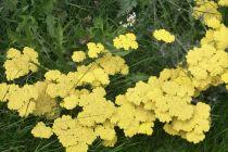 Achillea filipendula \' Coronation Gold \' ou Achillée, à fleur jaune