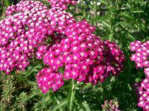 Achillea millefolium \'Cerise Queen\'