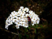 Achillea millefolium \'Weisses Wunder\'