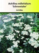 Achillea millefolium \' Schneetaler \' ou achillée à fleur blanche