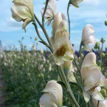 Aconitum napellus \'Rubellum\'