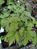 Actaea Racemosa \'Carbonella\'