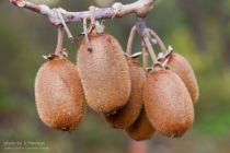 Actinidia chinensis, fruitiers grimpant caduc à feuille vert aux fruits marron en automne.