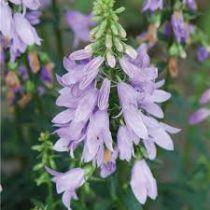 Adenophora confusa \'Gaudi Violet\'
