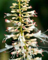 Aesculus* parviflora