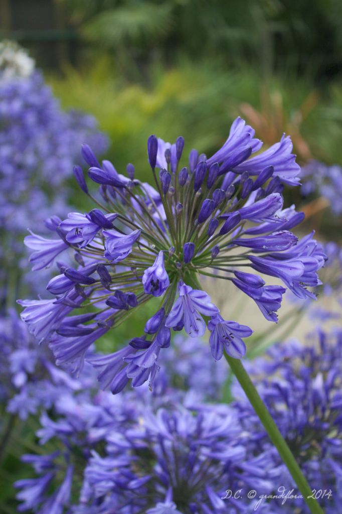 Agapanthe \'Blue giant\' - Agapanthus \'Blue giant\'