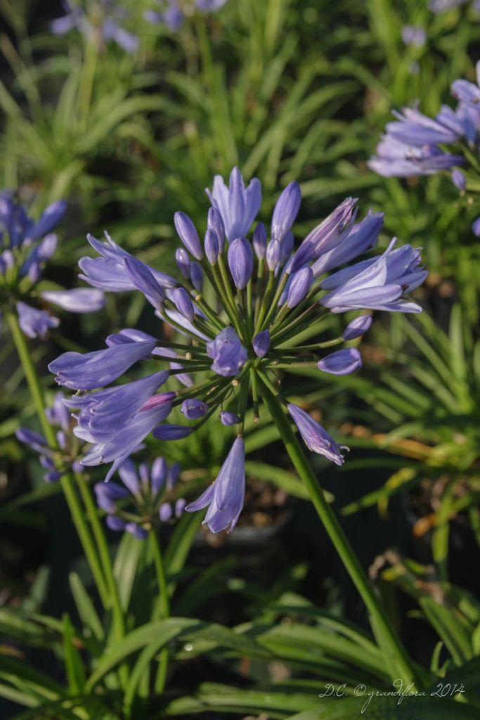Agapanthe \'Pitchoune ® blue\' - Agapanthus hybride Pitchoune ® blue \'Scrarey09\'