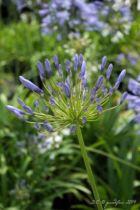 Agapanthus \'Blue Umbrella\', vivace au feuillage vert caduc et aux fleurs bleu moyen en été.