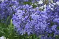 Plante vivace herbacée au feuillage vert et aux inflorescences bleues ou blanches en ombelles pour massif, bordure ou pot au soleil.