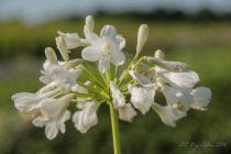 Agapanthe umbellatus albus, vivace persistante au feuillage vert et aux fleurs blanches en été.