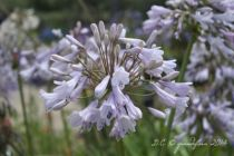 Agapanthus \'Windsor Grey\', vivace persistante au feuillage vert et aux fleurs blanches à reflets argentés.