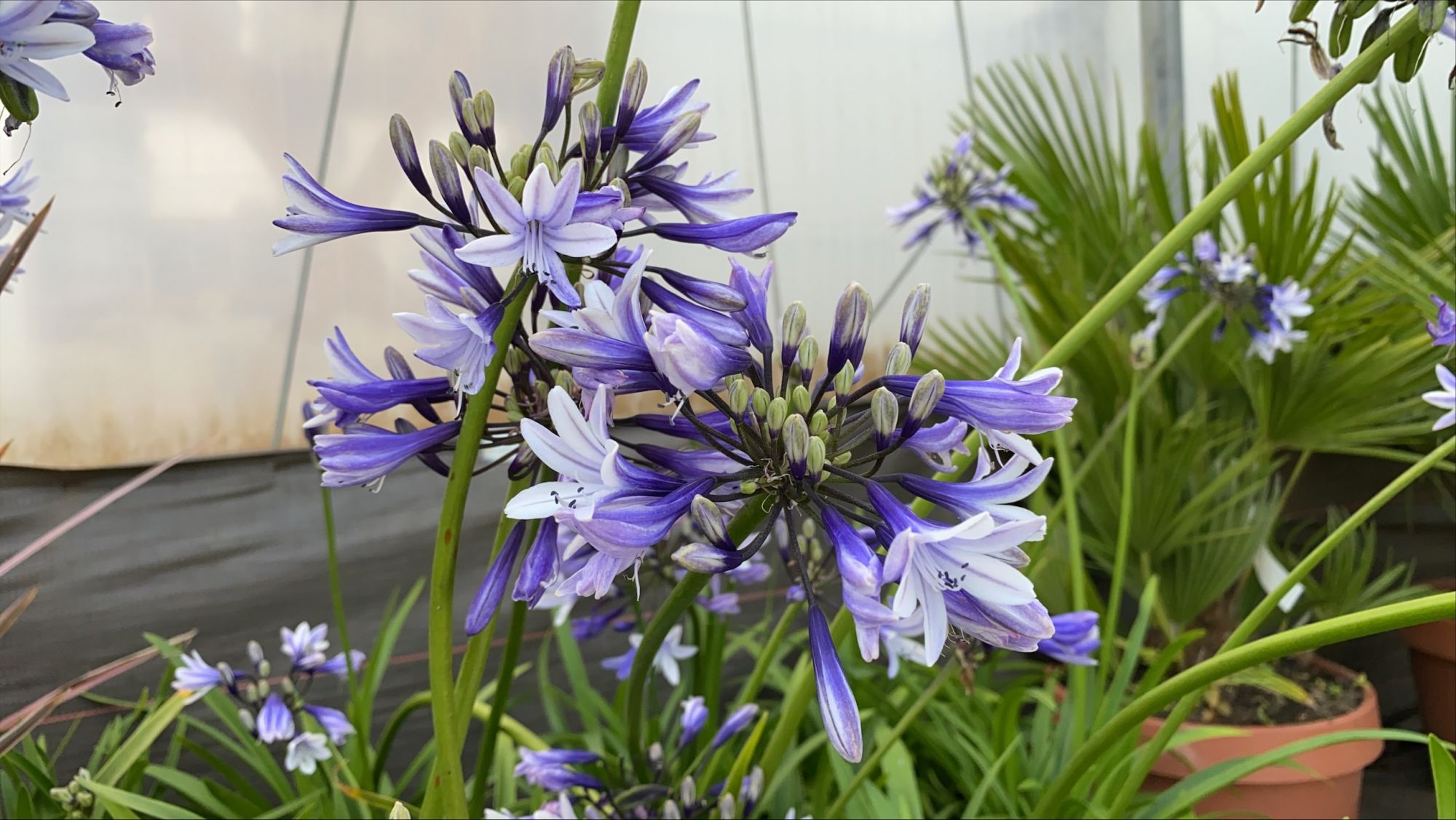 Agapanthus \'African Queen\'