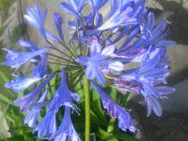 Agapanthus \'Bleu\'