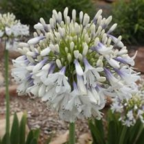 Agapanthus_Cloudy_Days
