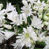 agapanthus-double-diamond