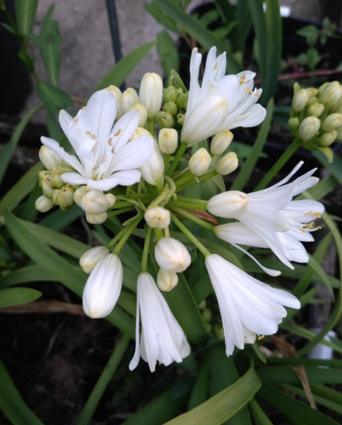 Agapanthus \'Double diamond\'