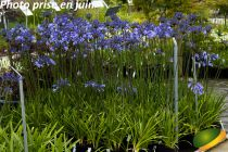 Agapanthus \'Dr Brouwer\'