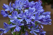 Agapanthus \'Ever Blue\'
